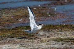 Common tern sterna hirundo in Danube Delta Romania. Wildlife i. Close up portrait of Common tern sterna hirundo in Danube Delta Romania stock photography
