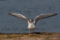 Common tern sterna hirundo in Danube Delta Romania. Wildlife i. Close up portrait of Common tern sterna hirundo in Danube Delta Romania royalty free stock photos