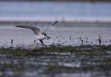 Common tern Sterna hirundo fishing. Adult common tern Sterna hirundo fishing in the swamp Stock Image