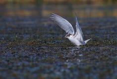 Common tern Sterna hirundo in flight. Juvenile common tern Sterna hirundo flying in the swamp Stock Image
