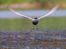 Common tern Sterna hirundo in flight Stock Photography