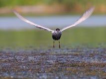 Common tern Sterna hirundo in flight. Adult common tern Sterna hirundo flying in the swamp Stock Photography