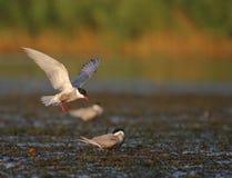 Common tern Sterna hirundo in flight. Adult common terns Sterna hirundo flying in the swamp Stock Photos