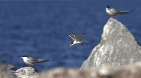 Common Tern (Sterna Hirundo)  in flight. Royalty Free Stock Image