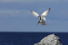 Common Tern (Sterna Hirundo)  in flight. Stock Image