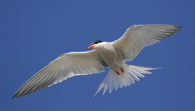 Common Tern (Sterna Hirundo)  in flight. Stock Photography