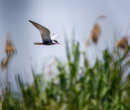 Common Tern Sterna Hirundo Stock Images
