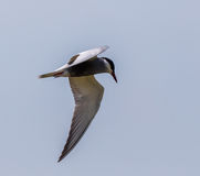 Common Tern Sterna Hirundo Stock Photo