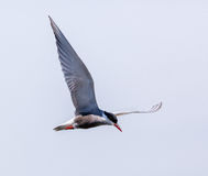 Common Tern Sterna Hirundo Stock Image