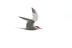 Common tern - Sterna Hirundo - in flight Stock Photos