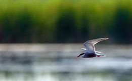 Common Tern Sterna Hirundo Stock Photography