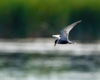 Common Tern Sterna Hirundo Royalty Free Stock Photos