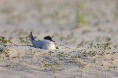 Common Tern (Sterna hirundo hirundo) Stock Photography