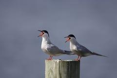 Common Tern (Sterna hirundo hirundo). Common Terns (Sterna hirundo hirundo) calling Stock Image