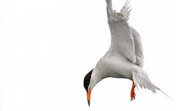Common Tern (Sterna hirundo) Stock Photos