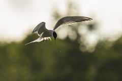 Common tern, Sterna hirundo, hunting Stock Photo