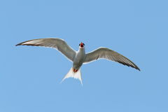 The common tern Royalty Free Stock Photography
