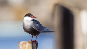 Common Tern. Sterna hirundo on log is looking for food Stock Photo