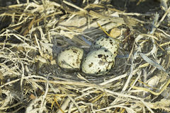 Common Tern (Sterna hirundo ) nest with eggs Royalty Free Stock Photography