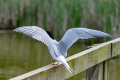 Common tern sterna hirundo with outstretched wings. Common tern sterna hirundo  perched on wooden fence with outstretched wings royalty free stock image