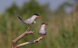 Common Tern - Sterna hirundo - pair Stock Photography