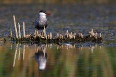 Common tern Sterna hirundo resting. Adult  common terns Sterna hirundo resting Stock Image