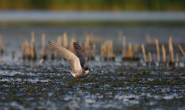 Common tern Sterna hirundo resting. Adult common tern Sterna hirundo resting in the swamp Stock Photography
