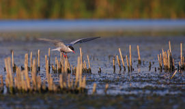 Common tern Sterna hirundo resting. Adult common tern Sterna hirundo resting in the swamp Royalty Free Stock Photography