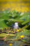 Common tern Sterna hirundo resting Royalty Free Stock Photo