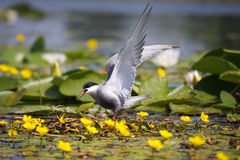Common tern Sterna hirundo resting Stock Photography