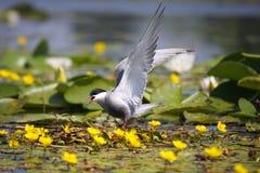 Common tern Sterna hirundo resting Stock Photography