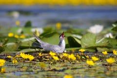 Common tern Sterna hirundo resting Royalty Free Stock Photography