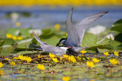 Common tern Sterna hirundo resting Royalty Free Stock Image