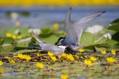 Common tern Sterna hirundo resting Royalty Free Stock Image
