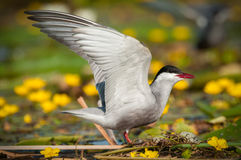Common tern Sterna hirundo resting Royalty Free Stock Images