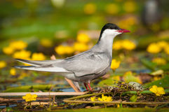 Common tern Sterna hirundo resting Stock Image