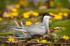 Common tern Sterna hirundo resting Royalty Free Stock Images