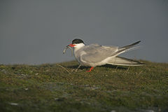 Common tern, Sterna hirundo Stock Image