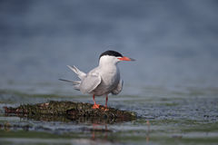 Common tern, Sterna hirundo. Single bird by water, Romania, May 2015 Stock Images