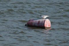 Common Tern, sterna hirundo sitting on a buoy Stock Photography
