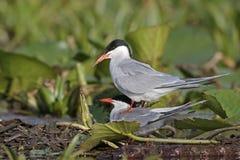 Common tern, Sterna hirundo Stock Images