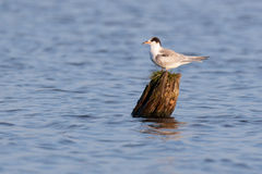 Common Tern (Sterna hirundo) Stock Photos