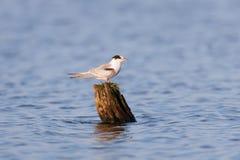 Common Tern (Sterna hirundo) Stock Photo