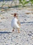 Common Tern (Sterna Hirundo) young bird Stock Photography