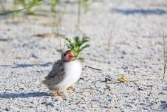 Common Tern (Sterna Hirundo) young bird Royalty Free Stock Photo