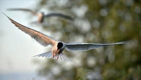 Common Tern Stock Photography