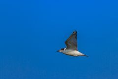 Common tern Stock Images