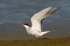 Common Tern, Visdief, Sterna hirundo. Common Tern adult standing with wings raised; Visdief volwassen staand met opgeheven vleugels stock images