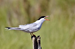 Common tern on wood post Stock Image