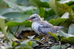 Common Tern & X28;Sterna Hirundo& X29; Stock Image